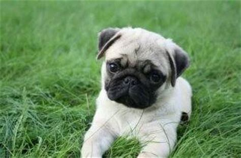 cost of a pug what is the cost of a baby pug in india quora