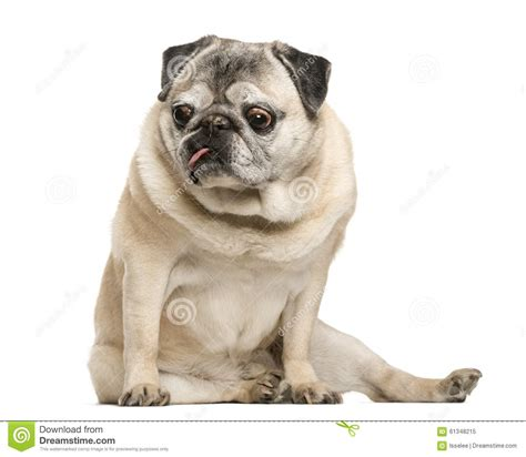 how to a pug to sit handicapped pug sitting stock photo image 61348215