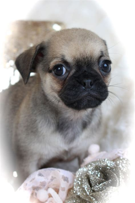 pug x chihuahua puppies pug x chihuahua puppies norfolk pets4homes