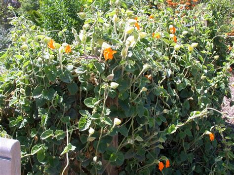 climbing plants sun looking for climbing plant zone 10b sun tropical