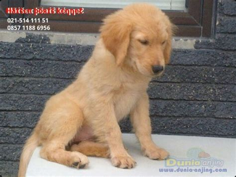 golden retriever big bone dunia anjing jual anjing golden retriever anakan golden retriever istimewa big