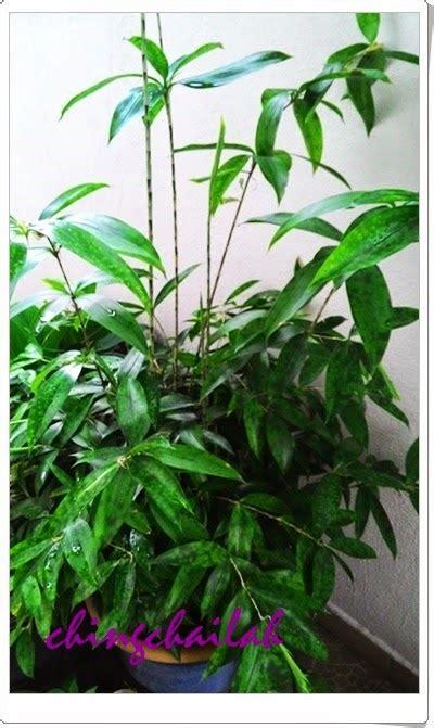 simple living  nancy growing japanese bamboo plants