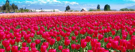 tulip feilds tulip fields images wallpapers of tulip fields in hd