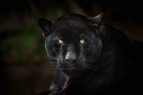 all black jaguar black jaguar all rights reserved 169 justin lo justin