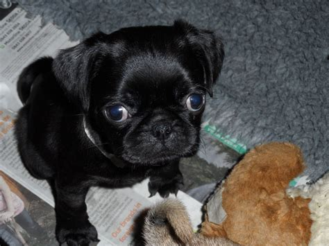 what are pug dogs like 3 4 pug puppies look just like pugs ashford kent pets4homes