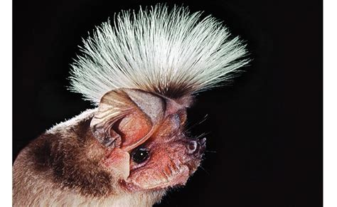 10 of the strangest bats from around the world page 2 of 5