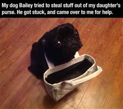stuck pug pug gets stuck in purse images dump a day