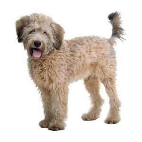 australian labradoodle puppies for sale australian labradoodle puppies for sale from expert breeders pets4you
