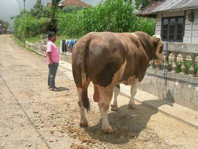 Berapa Bibit Sapi Potong peluang kredit usaha pembibitan sapi kups jual daging