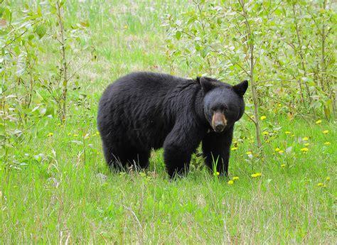 imagenes oso negro aseguran a oso negro en durango
