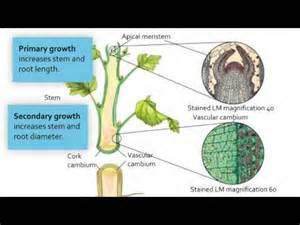 Visualizing meristematic tissue youtube