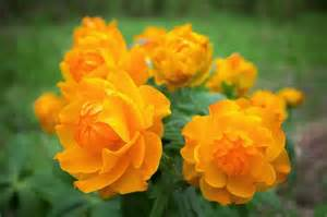What To Plant In A Summer Garden - trollius globe flowers