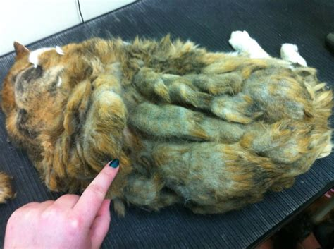Matted Hair On Cats by Cat Reddit User Gives Matted 25 Pound