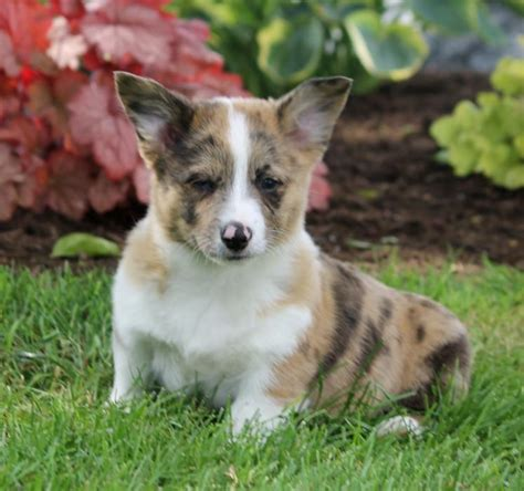 corgi puppies kansas city blue merle blue eyed corgi pembroke puppy craigspets