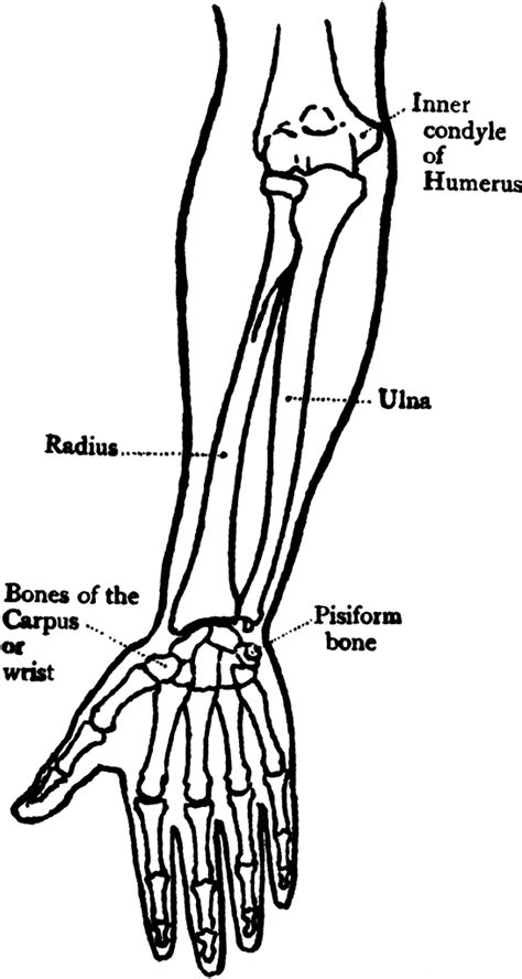forearm bones diagram front view of the bones of the forearm clipart etc