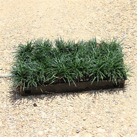 dwarf mondo grass dallas stone supply  wholesale
