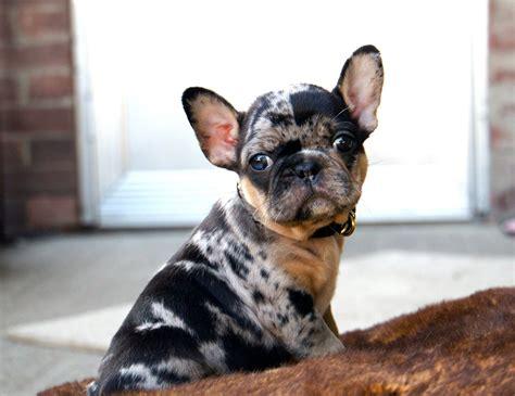 tri color bulldog puppies for sale tri color bulldog puppies for sale bubakids
