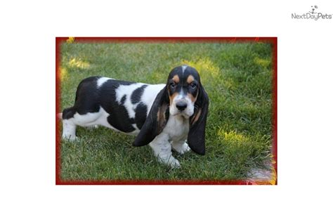 basset hound puppies ohio basset hound puppy for sale near akron canton ohio 5b724192 28b1