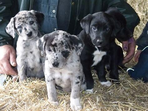 blue labrador puppies for sale stunning labrador x blue merle collie puppies tregaron ceredigion pets4homes