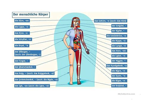 der menschliche körper innere organe der menschliche k 246 rper arbeitsblatt kostenlose daf