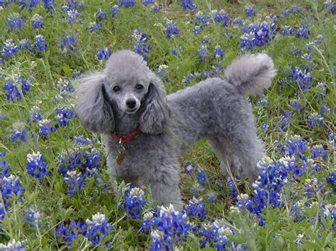 silver poodle puppy silver poodle must be poodle dogs