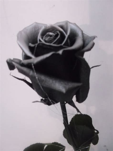 rosas negras pin rosa negra flickr photo sharing do it on pinterest