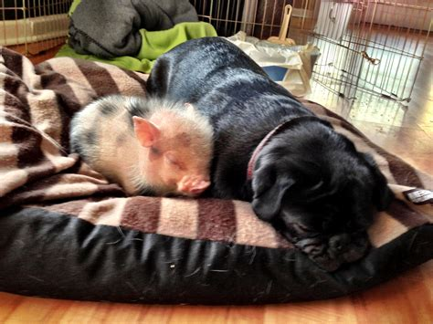 how do teacup pugs live just a pug napping with a teacup pig aww