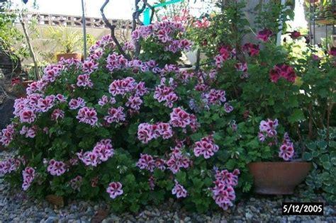 plantfiles pictures regal pelargonium uk martha