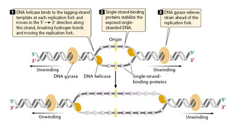 4 proteins involved in dna replication steps involved in dna replication in prokaryotes e