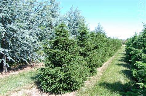 Oriental Design Picea Orientalis Atrovirens