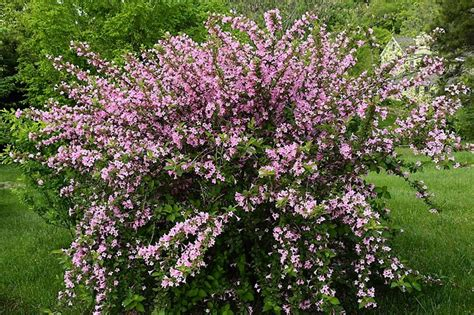 weigela bush full sun gardening pinterest
