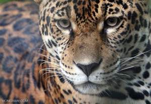 Jaguars Prey In The Rainforest 10 Rainforest Facts For 2017