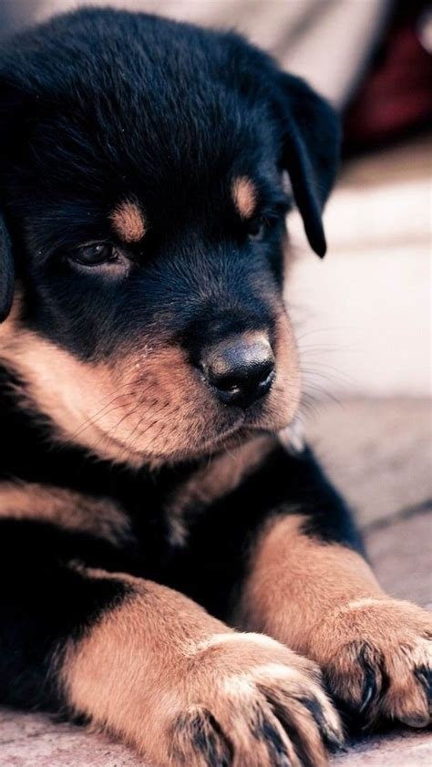 rottweiler rescue new jersey rottweiler rescue cities dogs in our photo