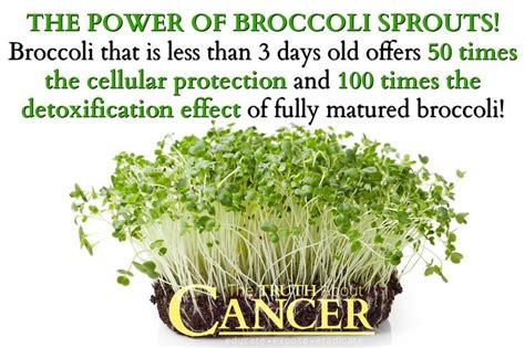 Broccoli Sprouts Helath Benefits Detox best 25 broccoli sprouts ideas on