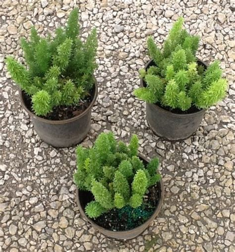 Bibit Sayuran Asparagus tanaman ekor tupai pendek bibitbunga