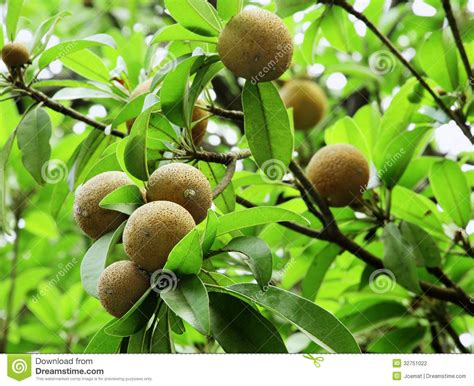 fruit trees names sapodilla fruits stock photography image 32751022