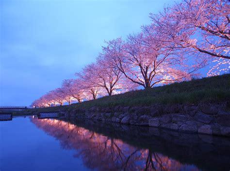 cherry blossom festival experience fukuoka japan s cherry blossom festival with