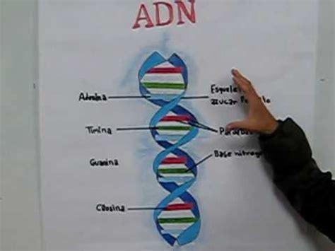 cadena de adn con limpiapipas exposicion adn youtube