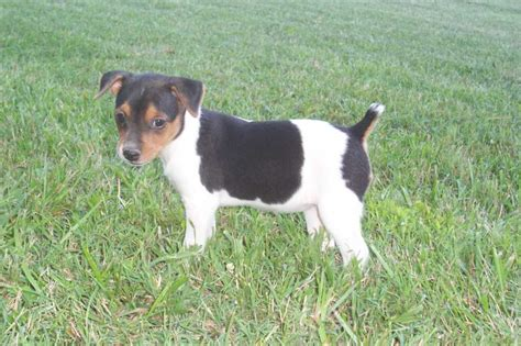 feist puppies intelligent feist puppies breeds puppies small and active feist puppies