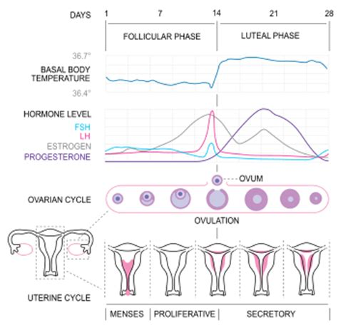 the menstrual cycle alliance for ontario