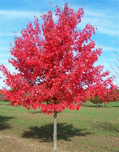 maple tree in early 13 best acer rubrum images on acer rubrum autumn leaves and autumn