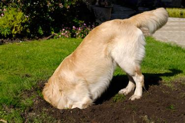 how to stop puppies from their how to stop a from digging