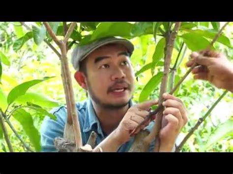 Pisau Okulasi Victorinox grafting mango tree cara sisip mangga doovi