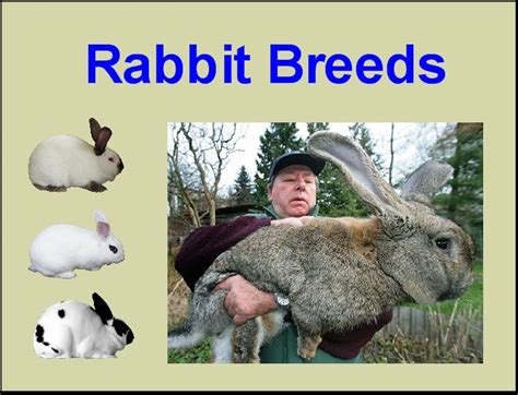 types of breeds different types of rabbits breeds book covers