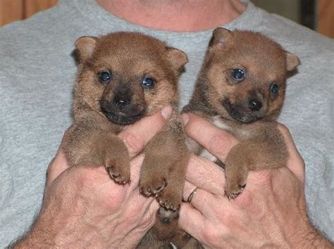 pomeranian rat terrier mix puppies for sale pomeranian rat terrier