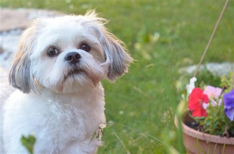 what does a shih poos tail look like shih poo pets pinterest