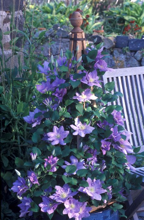 Patio Clematis by Garden Media Predicts The Garden Superstars Of 2006