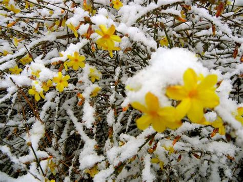 fiori invernali fiori invernali piante da giardino caratteristiche dei
