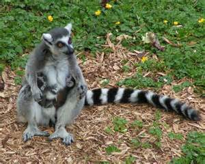 Lemur Wallpaper Animals Town