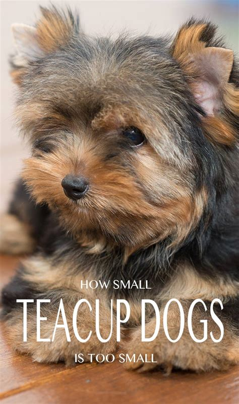 teacup yorkie teacup yorkie a guide to the world s smallest
